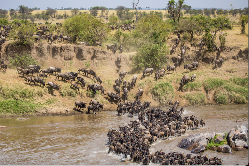 stampede buffalo in Africa